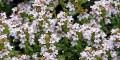 timo vulgaris professionalgrowing grow shop roma