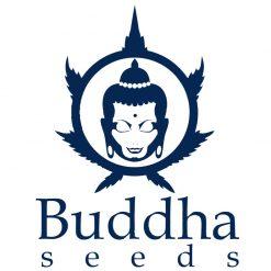 Buddha Seeds Autofiorenti